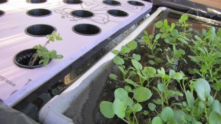 Watercress awaits transplant into baskets suspended by polylstyrene floats in the raft system of the newest aquaponics greenhouse at the farm.